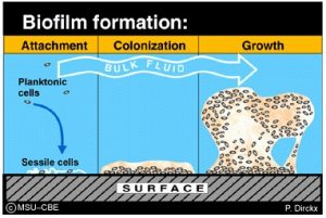 biofilm-formation-3-stages